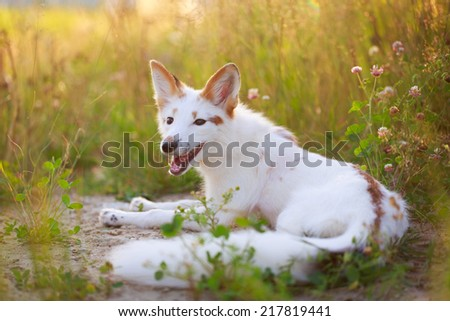 white-red fox pup
