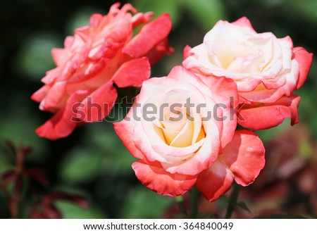White-red rose flowers - stock photo