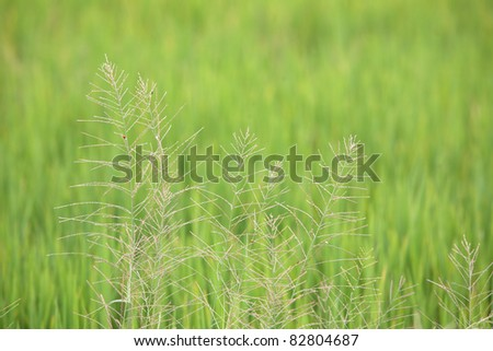 white reeds with green background,shallow dof.