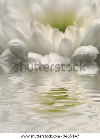 white reflection of chrysanthemum in rippled water - stock photo