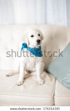 White retriever puppy sitting on a sofa wearing a blue scarf in studio - stock photo