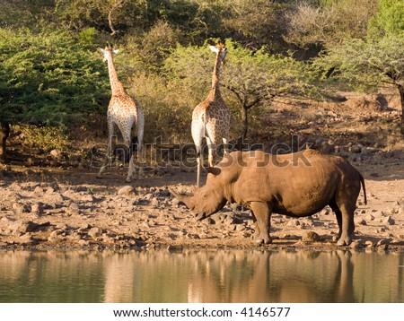 White rhino and friends - stock photo