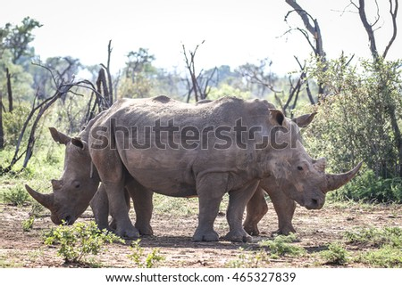 White rhino brothers standing in bush, South Africa