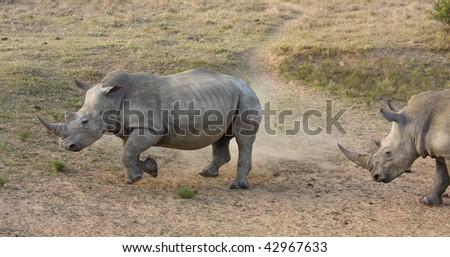 White Rhino bull chases the cow turning on one foot. - stock photo