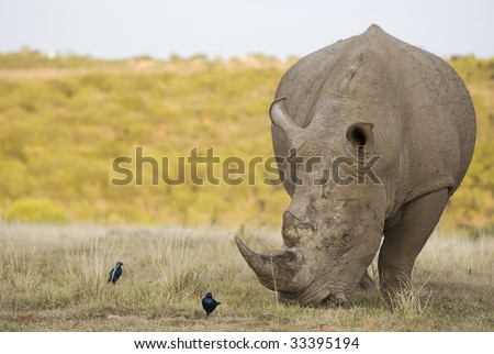 White Rhino bull grazing on grassland plains with birds in foreground - stock photo