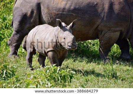 White rhino calf in Ziwa Rhino Sanctuary, Uganda - stock photo