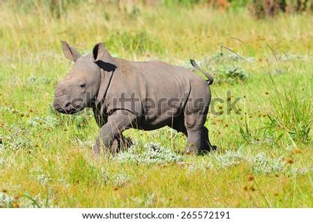 White Rhino Calf walking - stock photo