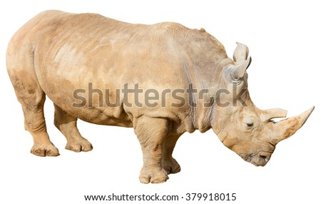 White Rhino (Cerathotherium simum) on a white background with a clipping path - stock photo