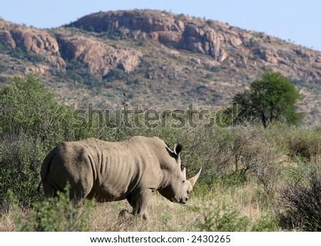 White Rhino – Ceratotherium simum - stock photo