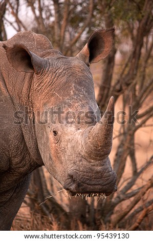 White rhino, Ceratotherium simum - stock photo