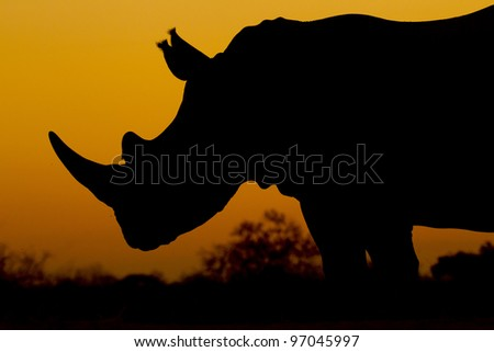 White Rhino (Ceratotherium simum) at Sunset, South Africa - stock photo