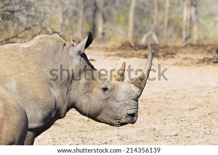 White Rhino (Ceratotherium simum) head and shoulders, facing right, against a blurred natural setting - stock photo