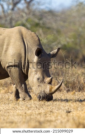 White Rhino (Ceratotherium simum) head and shoulders grazing dry grass - stock photo