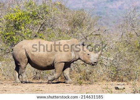 White Rhino (Ceratotherium simum) walking in natural savannah setting - stock photo