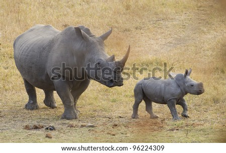 White Rhino (Ceratotherium simum) with calf in Kruger Park, South Africa