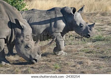 White Rhino – Ceratotherium simum, with young. - stock photo
