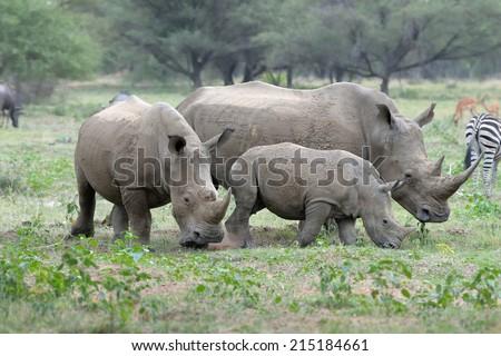 White rhino family grazing on grass field  - stock photo