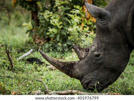 White rhino grazing in the Kruger National Park, South Africa. - stock photo