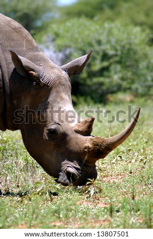 White Rhino grazing on grass in the Mabalingwe Reserve (South Africa) - stock photo