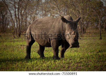 White rhino in a short grass meadow in the Kruger National Park, South Africa - stock photo