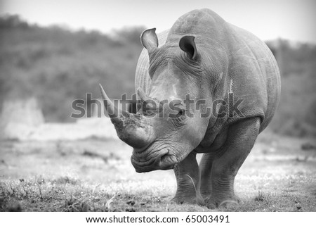 White rhino in black and white - stock photo