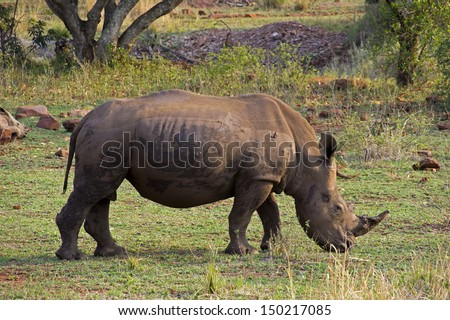 White rhino in South Africa - stock photo