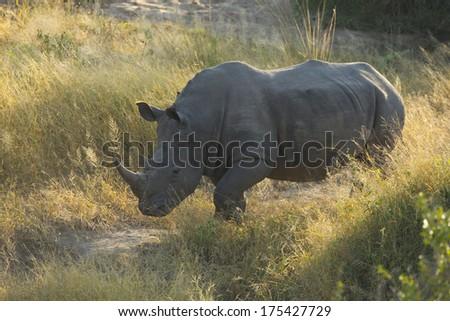 White Rhino in South Africa - stock photo