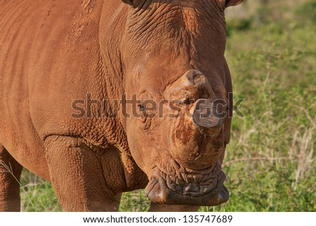 white rhino in South Africa with horn sawed off to protect against poachers, closeup of head - stock photo