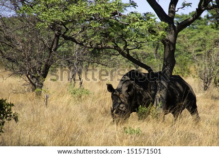 White rhino in the South African bush - stock photo