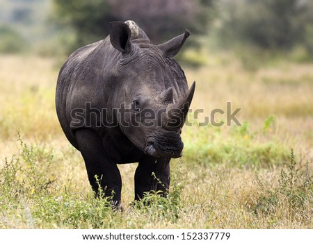 White rhino, Kruger, South Africa - stock photo
