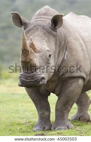 White rhino listening - stock photo