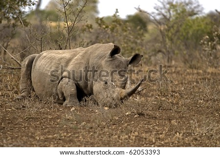 White Rhino lying on the ground during the mid day heat. - stock photo