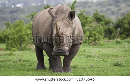 White Rhino male - stock photo