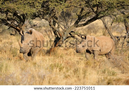 White rhino mother and calf in the Mokala National Park of South Africa  - stock photo
