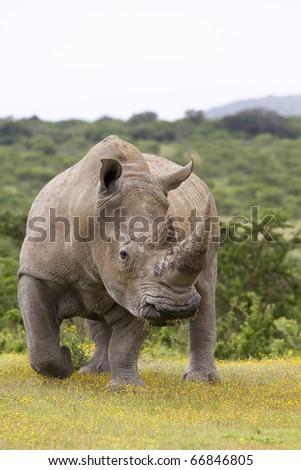 White rhino on the move - stock photo