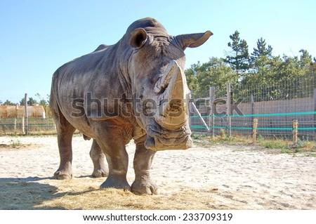White rhino or square-lipped rhinoceros (Ceratotherium simum) - stock photo