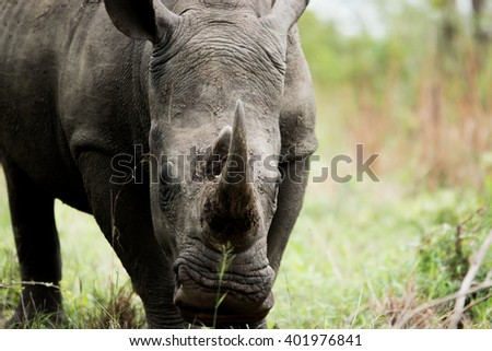 White rhino starring in the Kruger National Park, South Africa. - stock photo