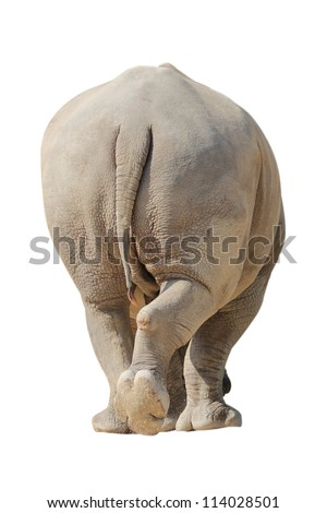 White Rhino Walk in Isolated - stock photo