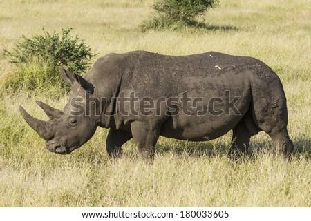 White Rhino walking in the African savanna - stock photo