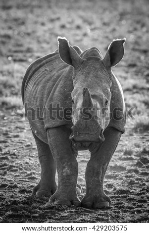 White rhino walking on dusty ground at sunset, Kruger National Park, South Africa - stock photo