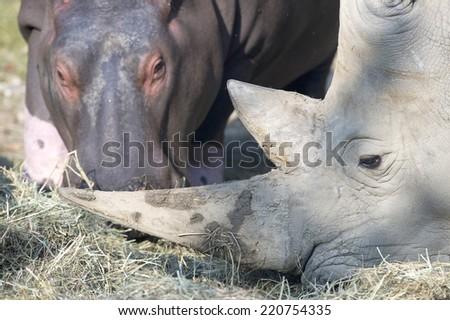 white rhino while looking at you - stock photo