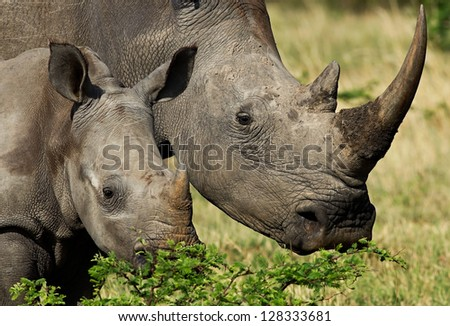 White Rhino with calf, close up