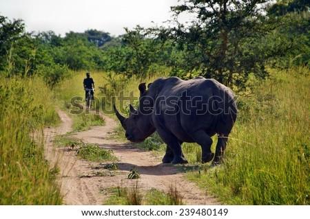 White rhino with guardian in Ziwa Rhino Sanctuary, Uganda - stock photo