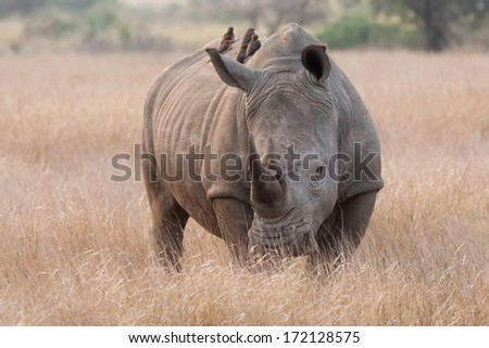 White Rhino with oxpeckers on it's back eating insects in Kruger National Park, South Africa - stock photo