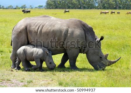 white rhino with 2 weeks calf - stock photo