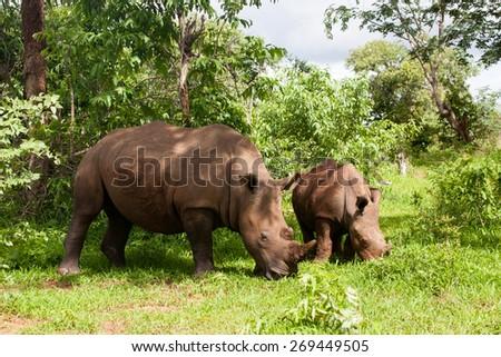 White Rhino with young in Mosi-oa Tunya Nation Park, Zambia, Africa - stock photo