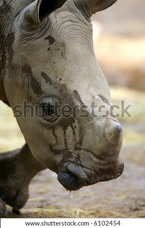 White Rhinocero