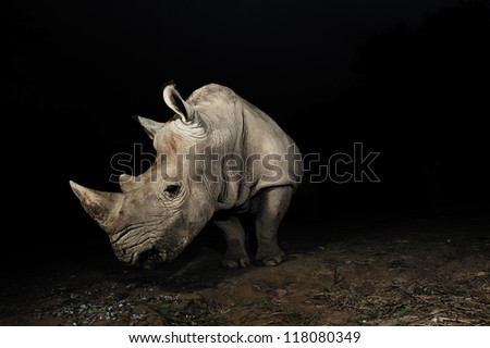 White rhinoceros - stock photo