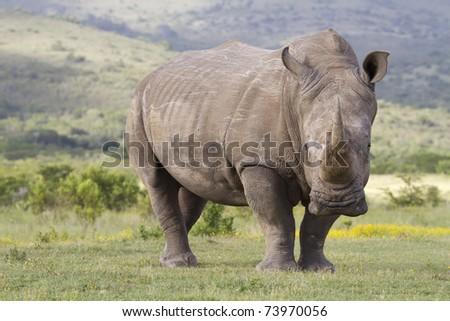 White rhinoceros - stock photo