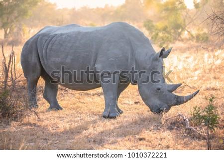 stock-photo-white-rhinoceros-backlit-in-